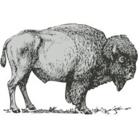 Animals   Buffalo Bison Thumbnail